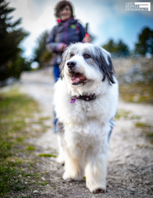 Ritratto di Lola - Bobtail - Pet Photography