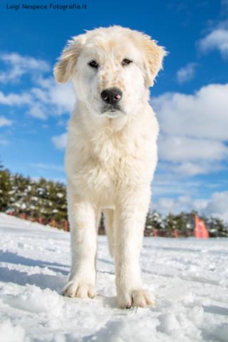 Cucciolo di Pastore Abruzzese - Pet Photography