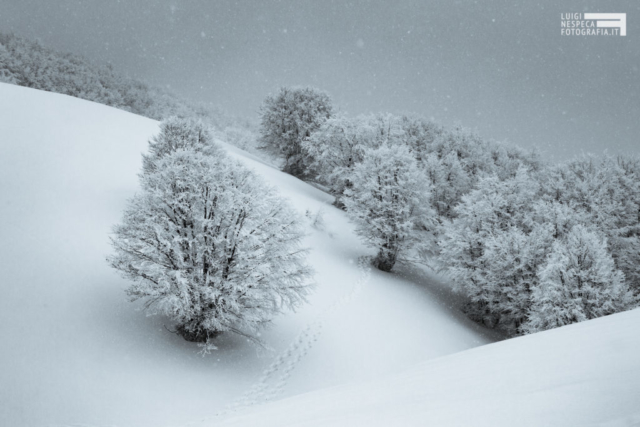 01 - La faggeta di Aschiero durante una nevicata - Gran Sasso - Prati di Tivo (TE)