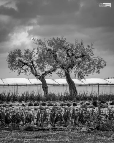 La campagna di Francavilla al Mare: gli Ulivi e le serre