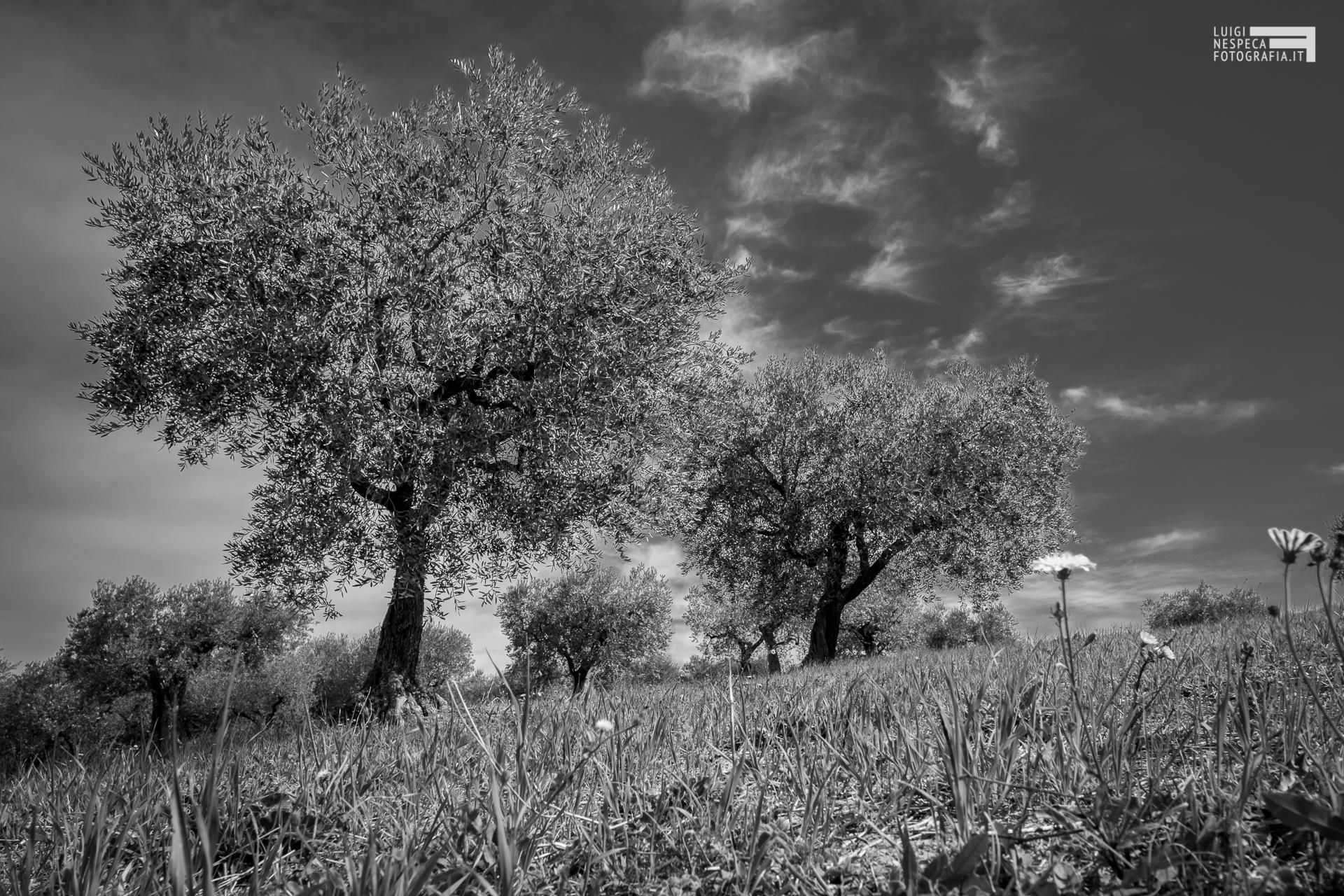 La campagna di Francavilla al Mare: gli Ulivi